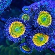 Meerwasser Mithrax Krabben Korallenableger LPS