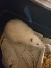 Männliche Ratte