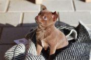 Zauberhafte Pomchi Welpen - Pomeranian x
