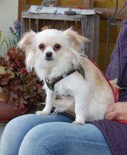 Teddylein 2 Jahre - Chihuahua - Tierhilfe