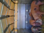 Mastschweine Spanferkel zum selbst zerlegen
