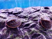 Rotbauch-Spitzkopfschildkröte lat Emydura albertisii 99EUR