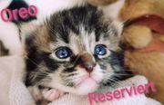 Wunderschöne Kitten Maine Coon Canadische
