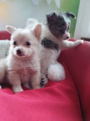 POMCHI -Babys Pomeranian Zwergspitz x