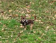 Chihuahua Deckrüde AT KEIN VERKAUF