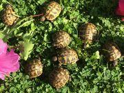 Griechische Landschildkröten THB Schlupf 2020