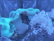 Tangfeilenfisch Meerwasserfisch Tausch