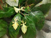 5 wandelnde Blätter Phyllium philippinicum