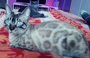 Bengal Kitten Schneebengal Bengal black