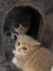 Exotic Shorthair BKH Kitten