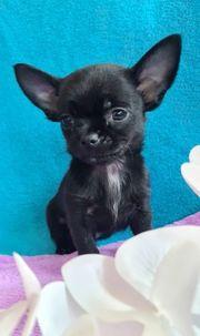Schöne Mini-Chihuahua