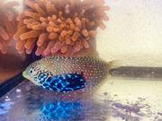 Diamant Lippfisch Meerwasser Fisch