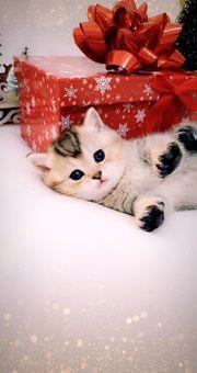 Zauberhafte BKH Kätzchen