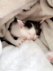Sehr verschmuste BKH Kitten Mixe