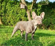 Solid Lilac Französische Bulldogge Deckrüde