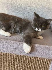 XXL Maine Coon Kitten Mädchen