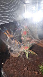 Vogelspinne Harpactira Pulchripes