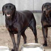 Bessi liebe Labrador-Mix-Hündin ca 10