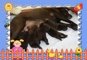 Labrador Welpen - Rüde in Braun
