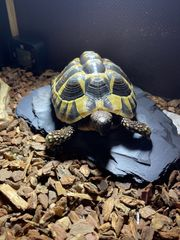 Griechische Landschildkröte 10 Jahre Terrarium