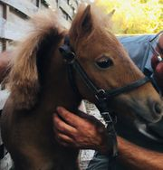 Miniatur Horse Pony