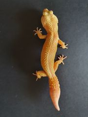 3 Leopardgeckos 1 0 0