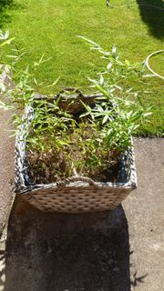 Weidekorb mit Bambuspflanze