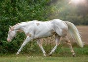 Paint Horse Hengst