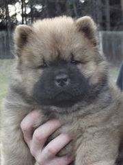 Chow Chow puppies with FCI
