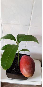 Ich verkaufe Mangopflanze