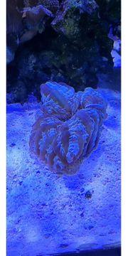 Cynarina lacrymalis LPS Koralle