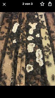 Bienenvolk Bienenableger Bienenkönigin