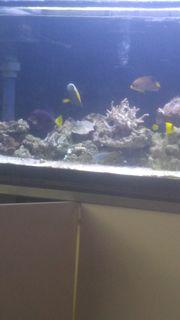 Verkaufe bicolor fisch