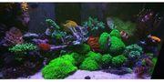 Meerwasser Korallen Fische Stöcke