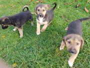 3 süße Schäferhund-Beagle-Mix Welpen abzugeben