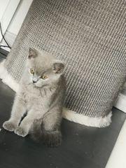Zuckersüßes BKH Kitten in blau