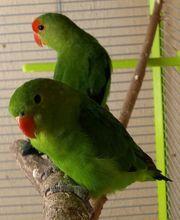 Taranta Paar wildfarben