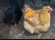 Tretschutz Hühnersattel Hühner