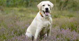 Suche blonden Labrador-Mix bis 4 Jahre