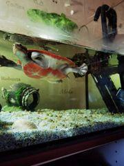 Wasserschildkröten Emydura und Chinesische Streifenschildkroete