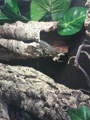 Varanus timorensis Weibchen 0 1