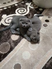 BKH Skottisch Fold-Kitten