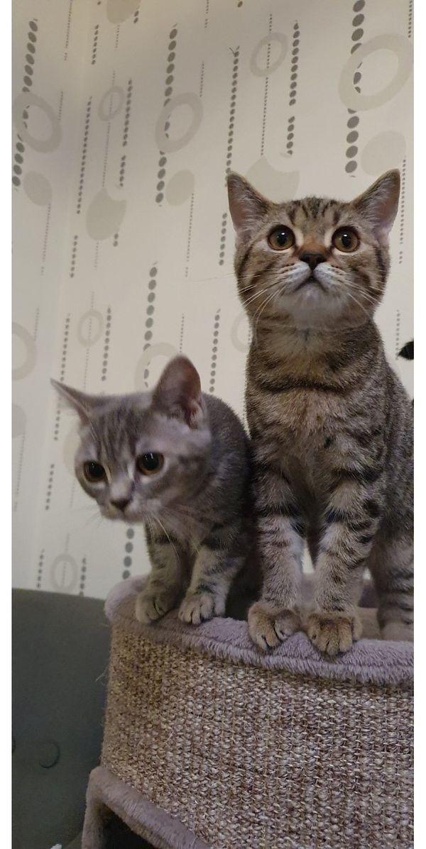 Bkh Scottish Fold Kitten Scottish