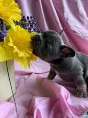 Französische Bulldoggen Welpen aus liebvoll