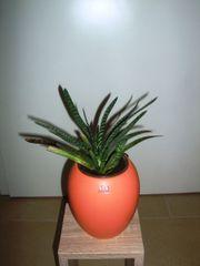 Kaktus Gasteria im ASA Design