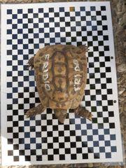 6 Griechische Landschildkröten Männchen