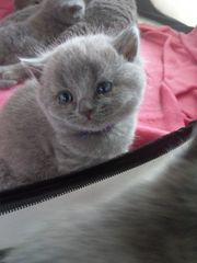 British Kurzhaar BKH Kitten WT