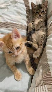 baby bkh mix Katzen