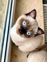 Wunderschönes Kitten jetzt Abholbereit