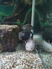 Axolotl mit Aquarium und Technik